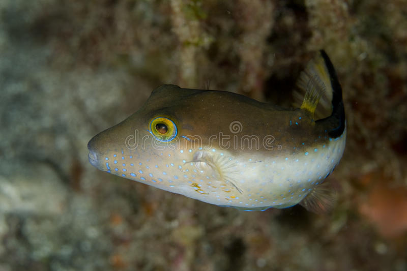 Download Sharpnose Puffer Fish stock image. Image of coral, fish - 14856679