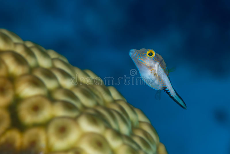 Sharpnose puffer swimming over star coral royalty free stock photos