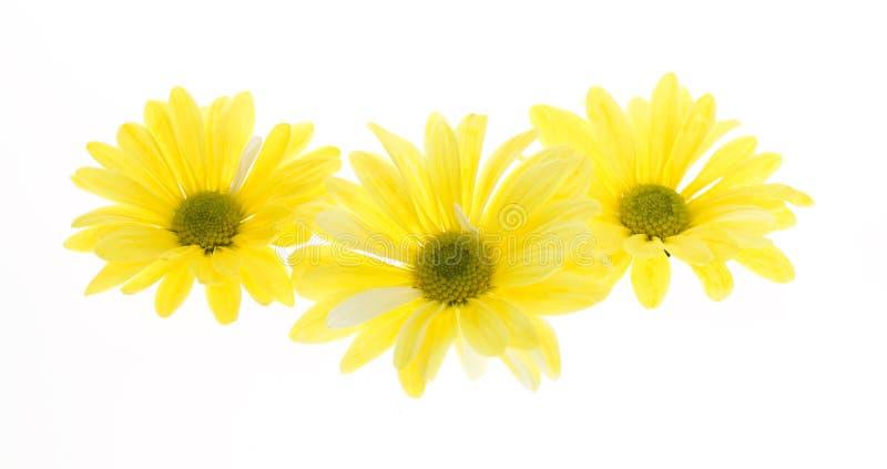 shasta τρία λουλουδιών μαργα&rh στοκ εικόνες με δικαίωμα ελεύθερης χρήσης