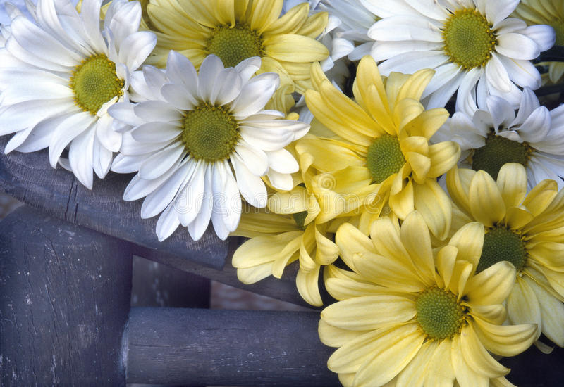 Yellow and White Shasta Daisies Closeup Detail on Old Rocking Chair royalty free stock photos