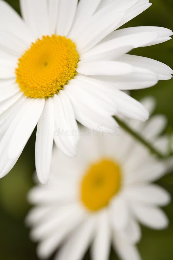 Free Shasta Daisies Closeup Stock Image - 2811981