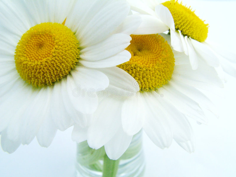 Download Shasta Daisy stock image. Image of yellow, white, soft - 112359