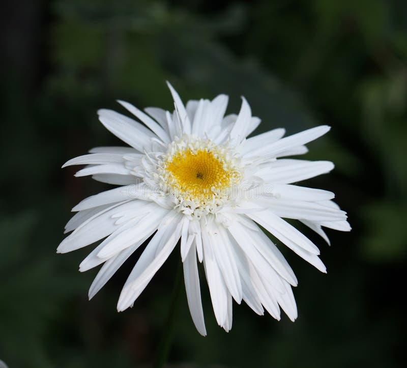 Shasta Daisy στοκ φωτογραφία με δικαίωμα ελεύθερης χρήσης