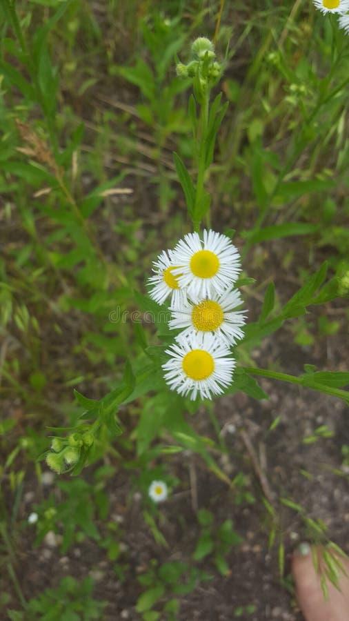 Shasta Daisy stock afbeeldingen