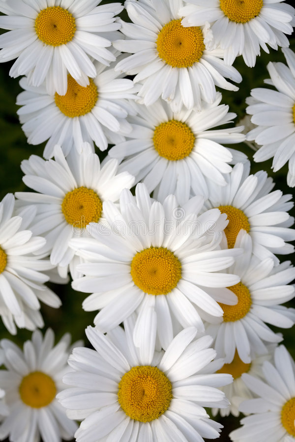 Free Shasta Daisy Flowers In Bloom Stock Photography - 2811952