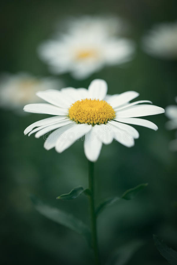Shasta Daisy With Vintage Effect Stock Photo - Image of ...