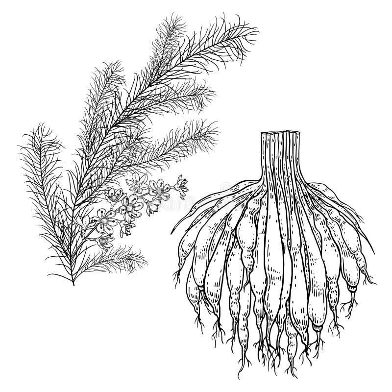 Shatavari Realistische Heilpflanze Niederlassung mit Blumen, Bl?ttern und Wurzel vektor abbildung