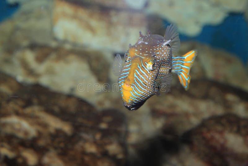 Shaw boxfish royalty-vrije stock afbeeldingen