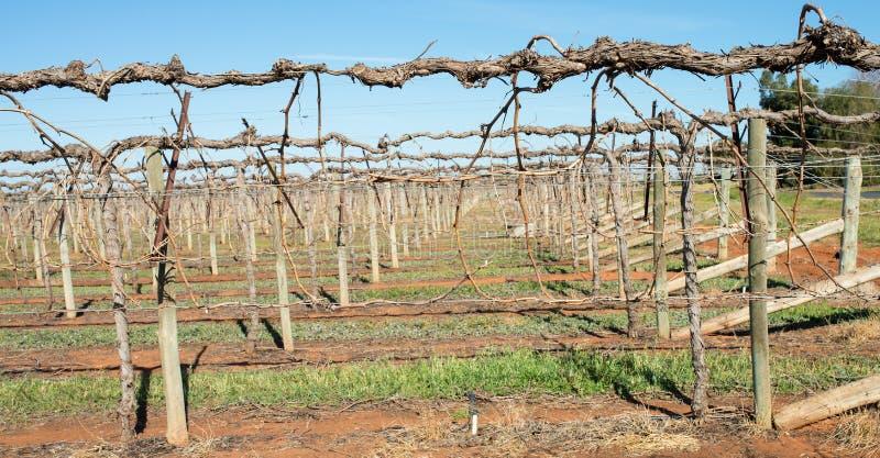 Shaw huśtawki ręki Trellis na Gronowych winogradach obrazy royalty free