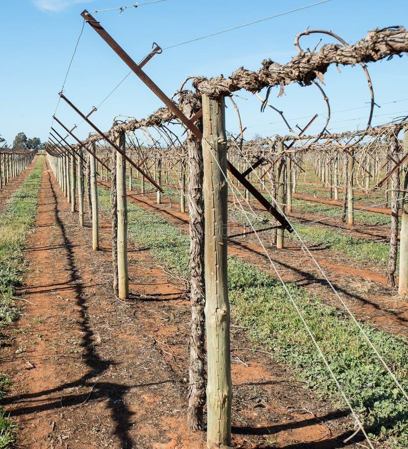 Shaw Swing Arm Trellis Grape Vines Stock Image Image of