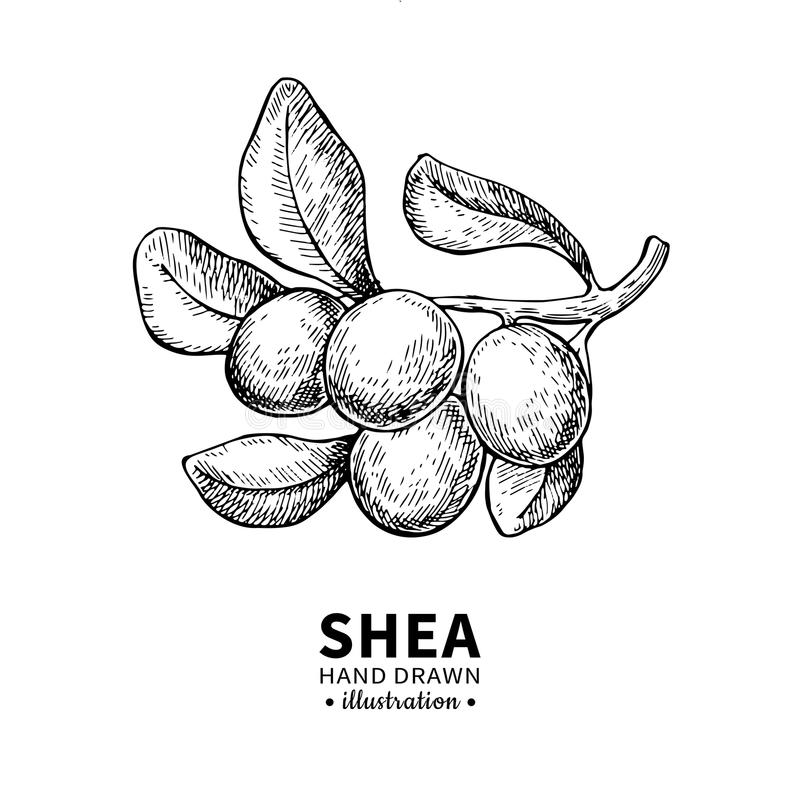 Shea butter vector drawing. Isolated vintage illustration of berry on branch. Organic essential oil engraved style stock illustration