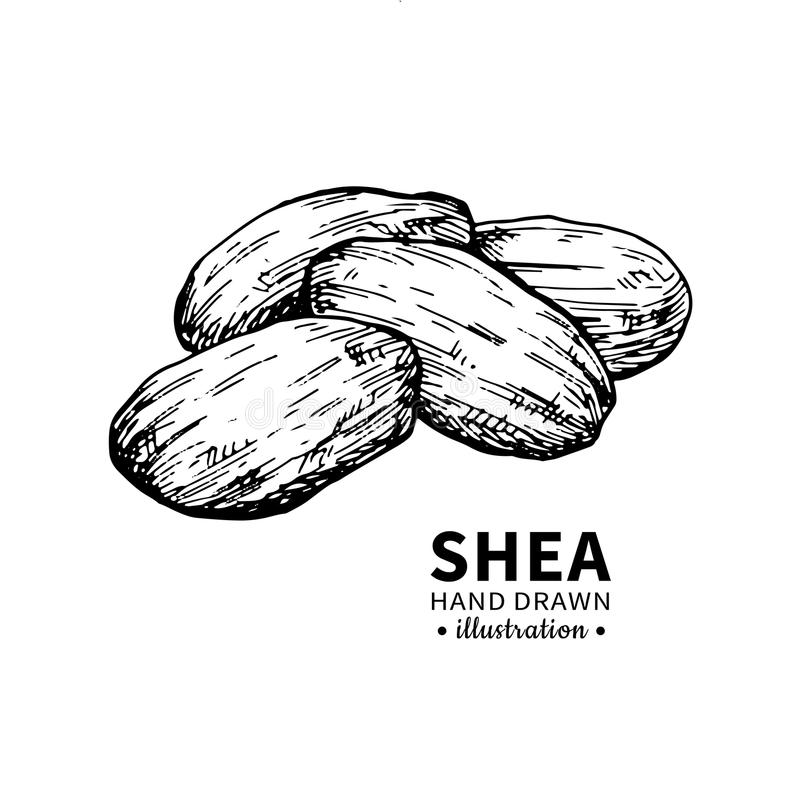 Shea butter vector drawing. Isolated vintage illustration of nuts. Organic essential oil engraved style sketch. vector illustration