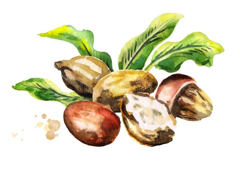 Shea-Nüsse mit Butter- und Grünblättern watercolor stock abbildung