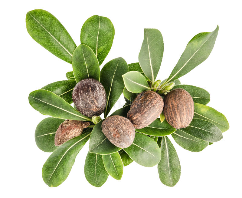 Shea nuts and leaves royalty free stock photo