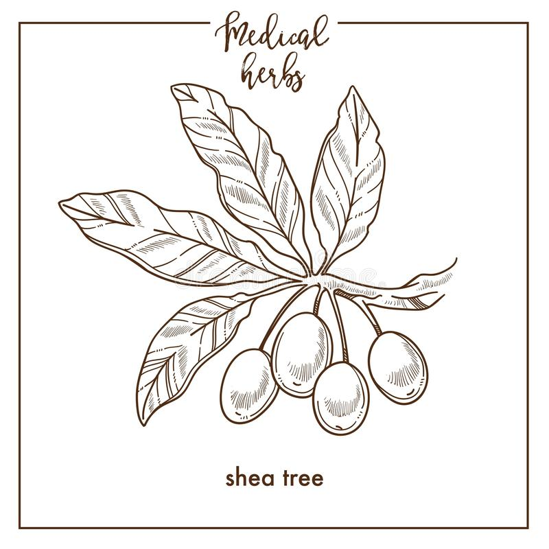 Shea tree seeds medical herb sketch botanical vector icon for medicinal herbal phytotherapy design royalty free illustration
