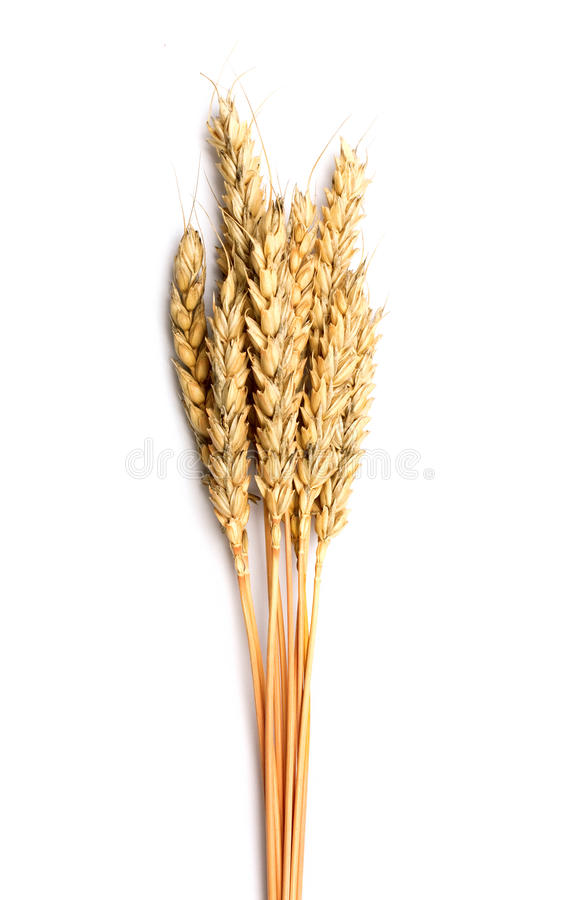 Sheaf of dried ears of corn. Isolated on white royalty free stock photo
