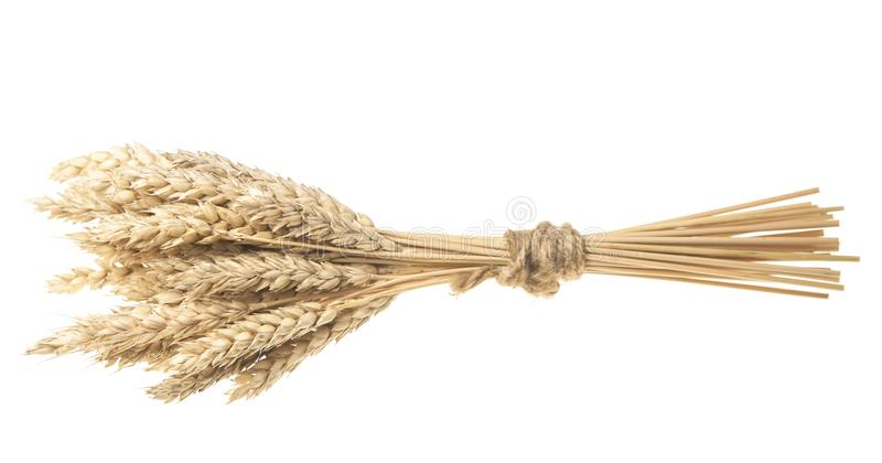 Sheaf of dried ears of corn isolated on white. Spikelets of wheat stacked in sheaf isolated on white background cutout royalty free stock images