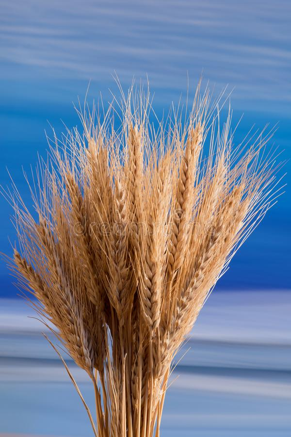 Sheaf of wheat. On the blue background royalty free stock photography