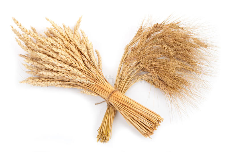 Sheaf of wheat and rye. On white royalty free stock images
