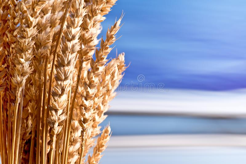 Sheaf of wheat. On the blue sky royalty free stock image