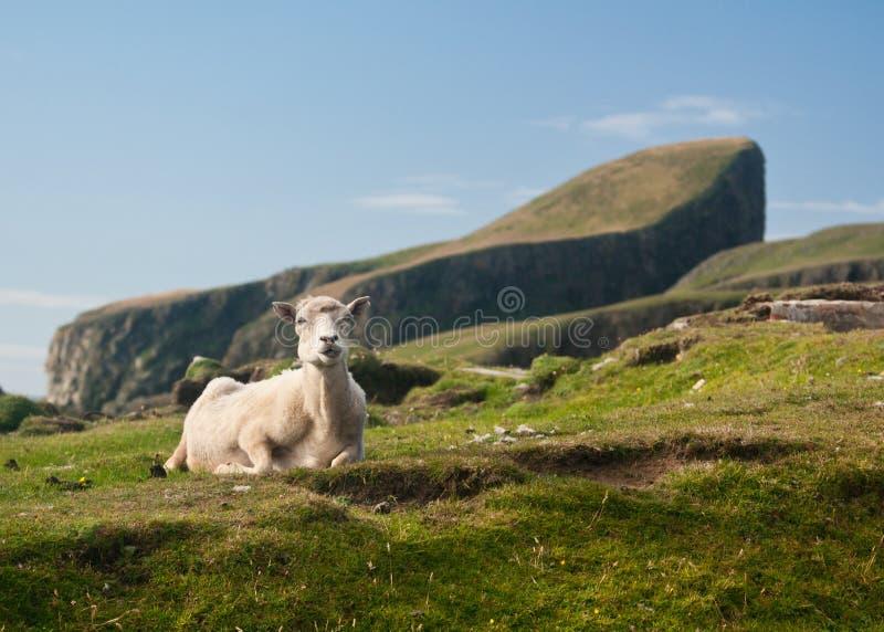 Sheared Sheep At Sheep Rock Fair Isle Uk Stock Image - Image: 40406493