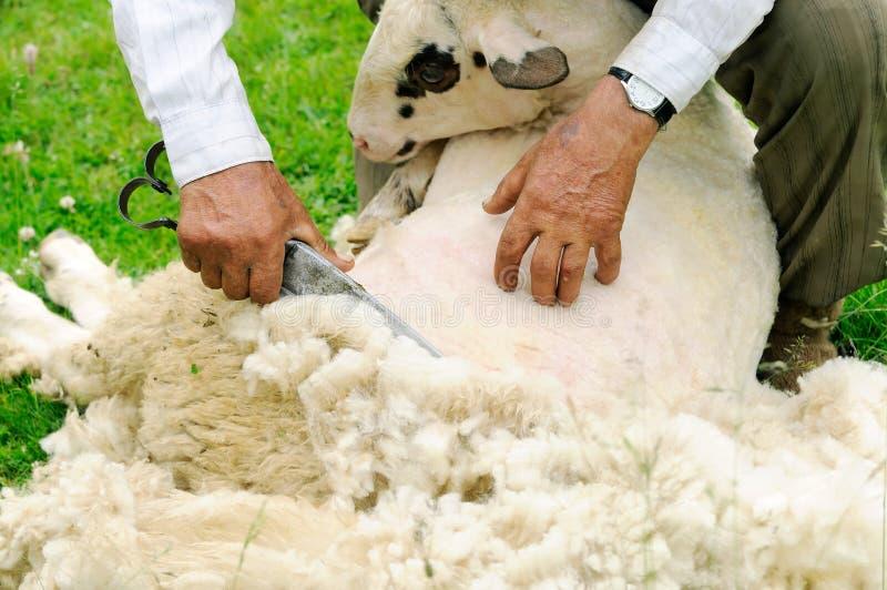 Shearing Sheep royalty free stock photos