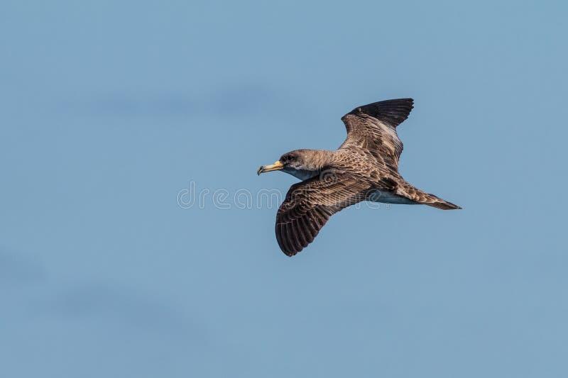 Shearwater van Cory ` s, Calonectris-borealis, zeevogel stock fotografie