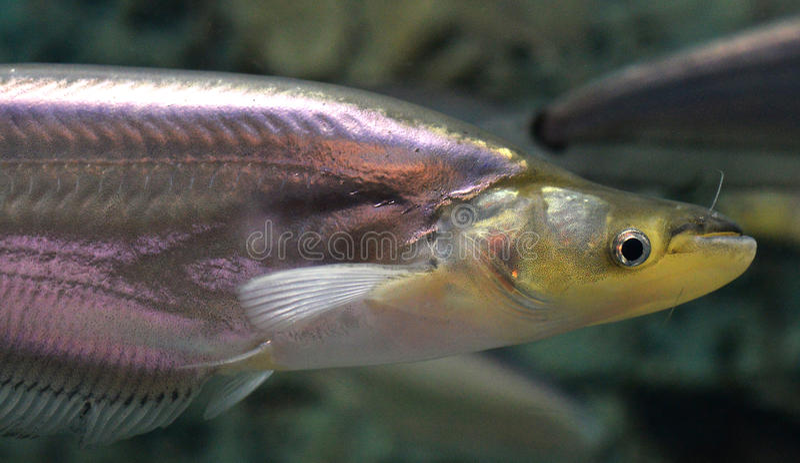 Sheatfish μουστακιών στοκ εικόνα με δικαίωμα ελεύθερης χρήσης