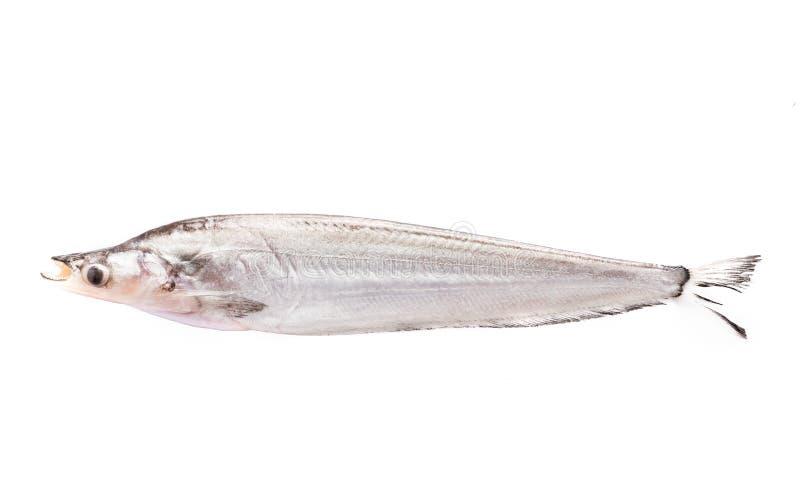 Sheatfish royalty free stock image