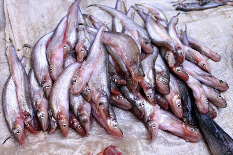 Sheatfish stock photography