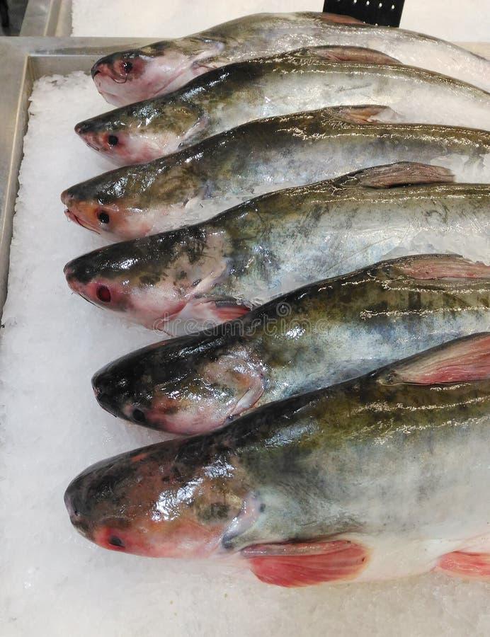 Sheatfishes, pesce sul vassoio di ghiaccio immagine stock libera da diritti