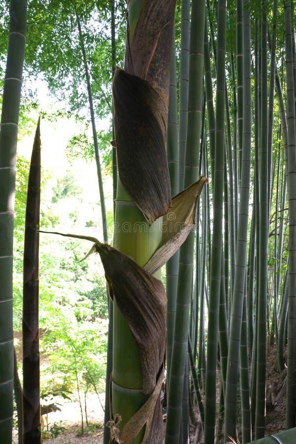 Sheath lub łupa bambus flanca obraz stock