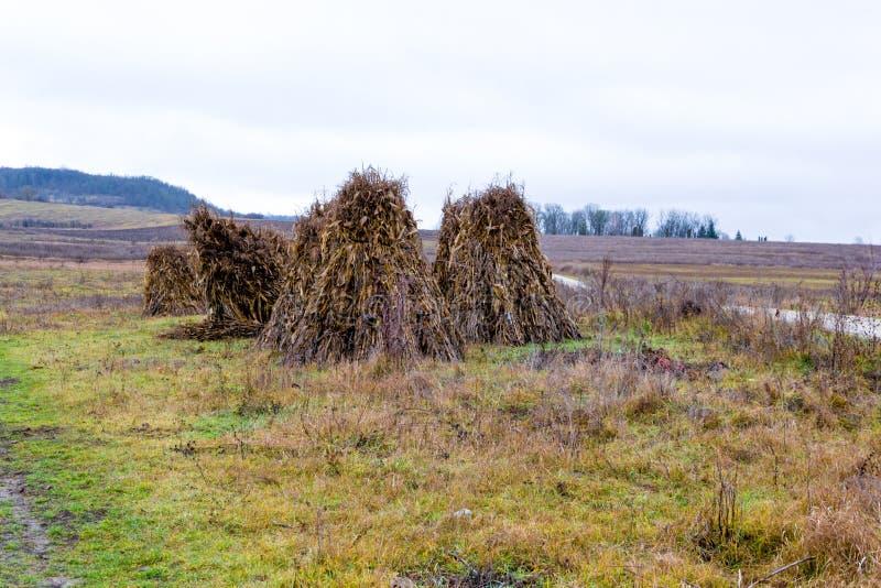 Sheaves της συγκομιδής καλαμποκιού παραδίδουν κοντά ένα ντεμοντέ ύφος ξηρό στοκ εικόνες