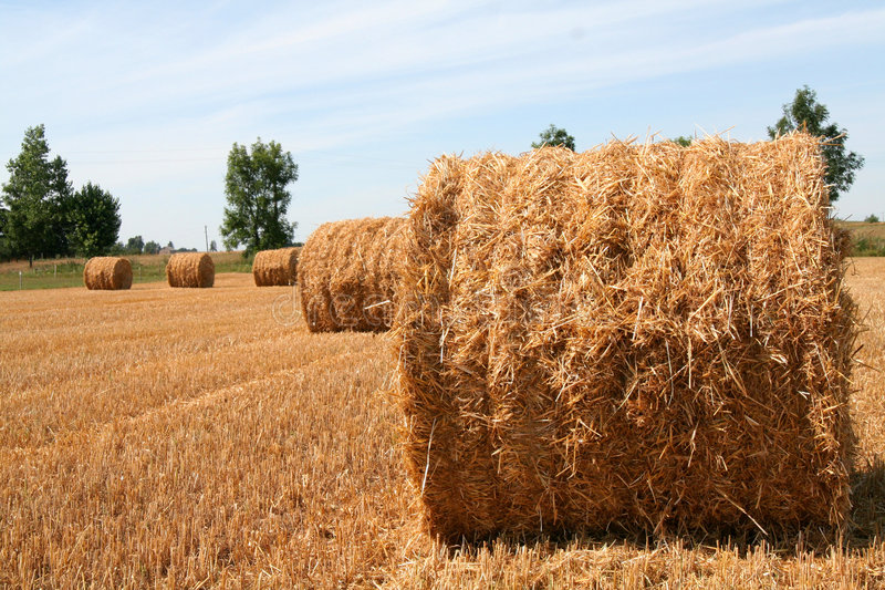 Sheaves. On a field royalty free stock photography