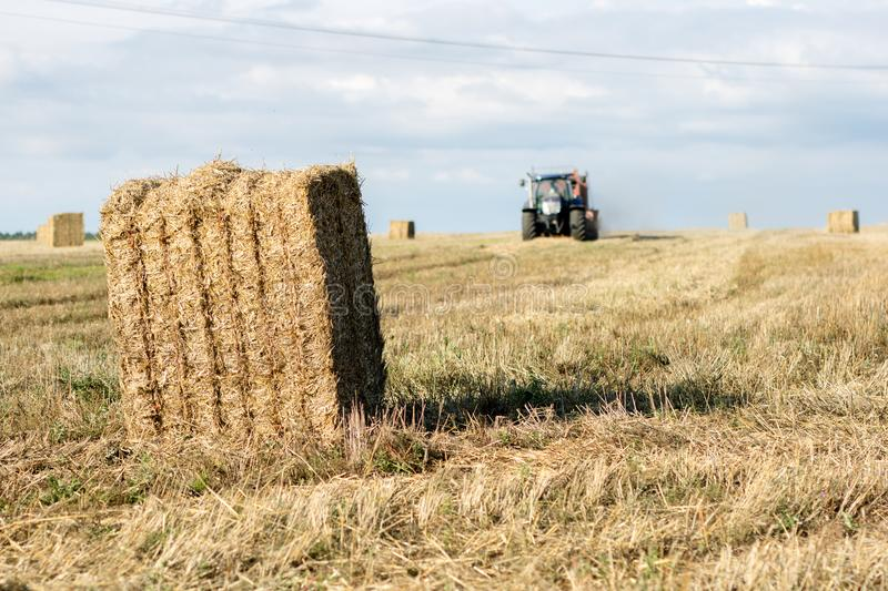 Sheaves of straw arranged in the field. Work done during harvest. Season of the summer royalty free stock images