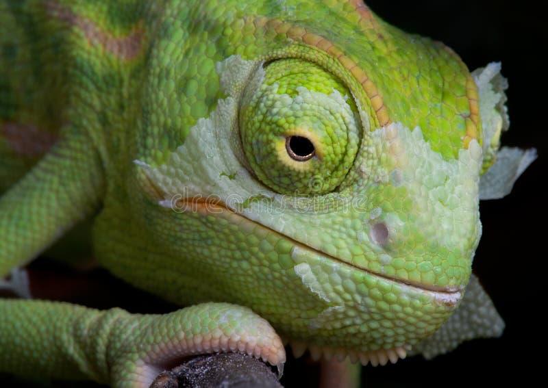 Shedding Chameleon 2 Stock Images