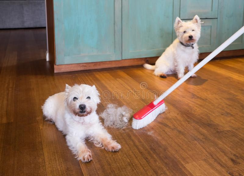 Shedding dog fur: broom sweeping hair from moulting west highland white terriers stock image