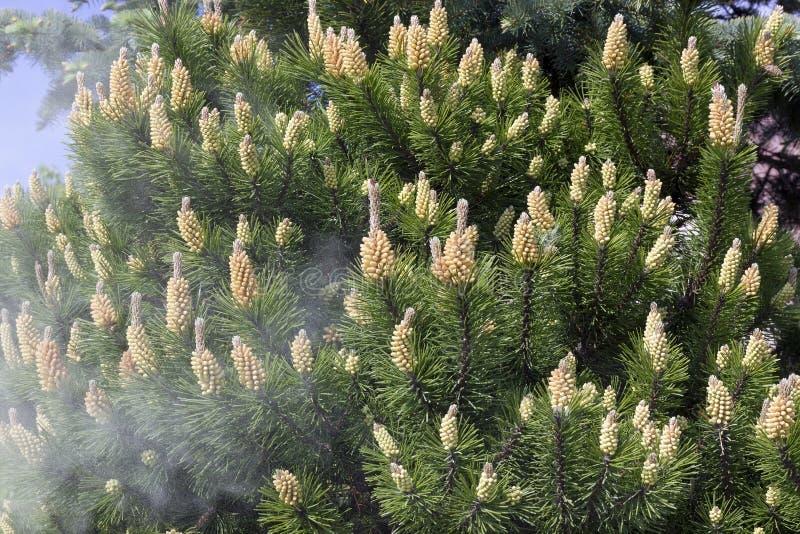 Shedding of pine pollen stock image