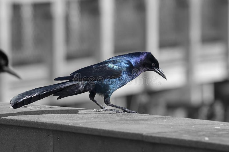 Sheen Of A Common Male Grackle In The Sun. On a black and white background royalty free stock image