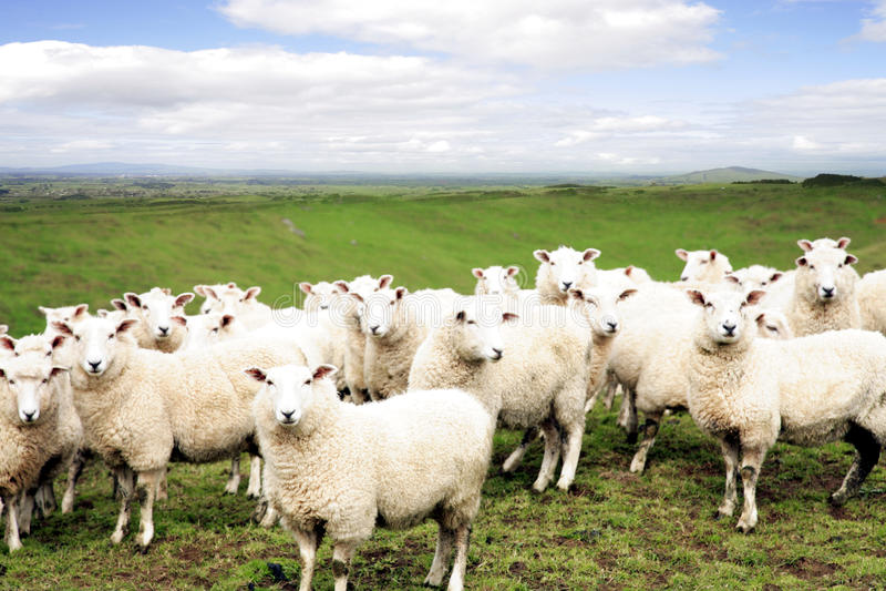 Download Sheep stock photo. Image of flock, nobody, farm, landscape - 11351312