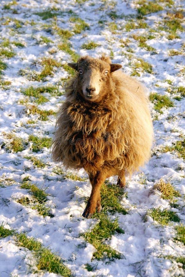 Download Sheep stock photo. Image of county, sheep, pasture, animals - 12415098