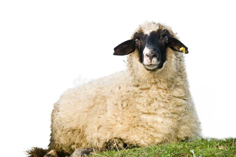 Download Sheep stock image. Image of care, rural, ranch, animal - 12928619