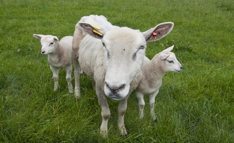 Download Sheep stock photo. Image of domestic, meadow, sheep, animals - 14775188