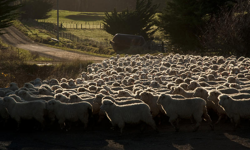 Download Sheep stock image. Image of farming, sheep, zealand, mutton - 14972601