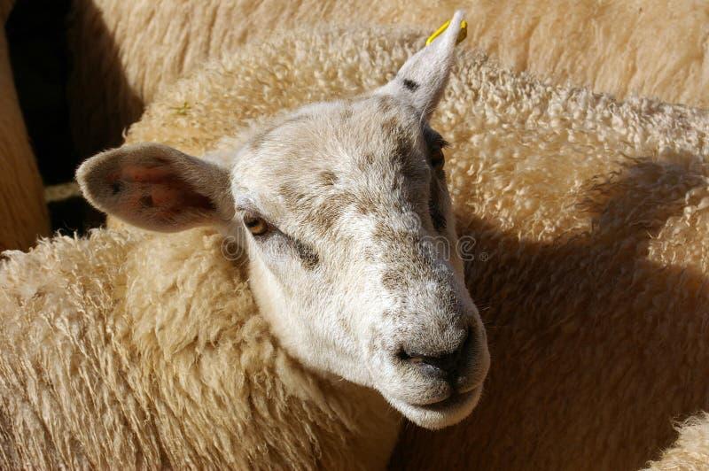 Sheep 15 Stock Photo