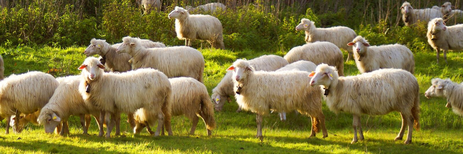 Download Sheep stock photo. Image of keep, flock, road, green - 17577858
