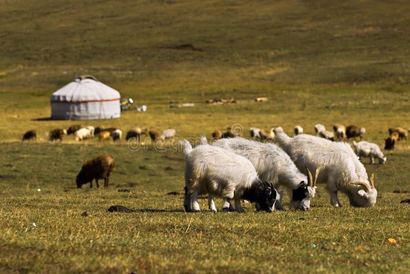 Download Sheep stock image. Image of brings, golden, life, green - 19961019