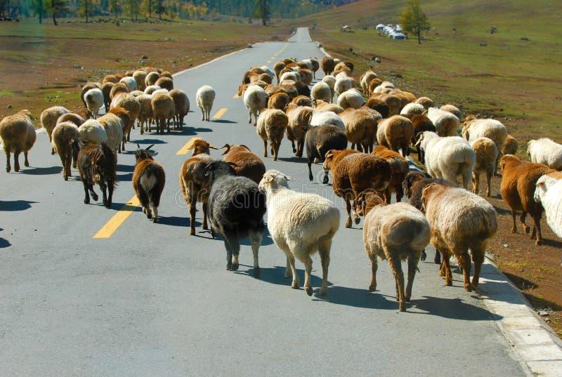 Download Sheep stock photo. Image of sheep, nature, brings, autumn - 19962374
