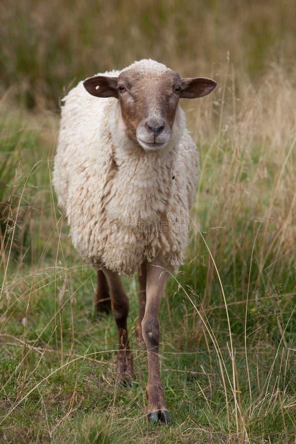 Download Sheep Royalty Free Stock Image - Image: 21103996