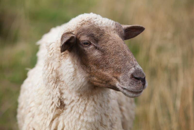 Sheep. Portrait on a field stock photos